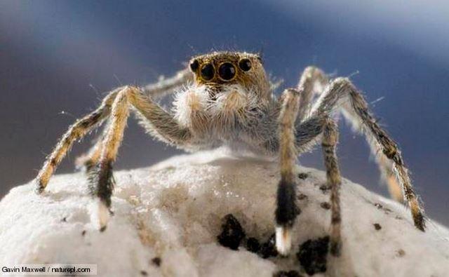Himalayan_Jumping_Spider