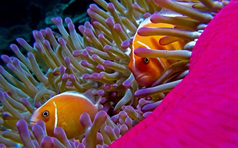 underwater_photos_bright_pink_fishes