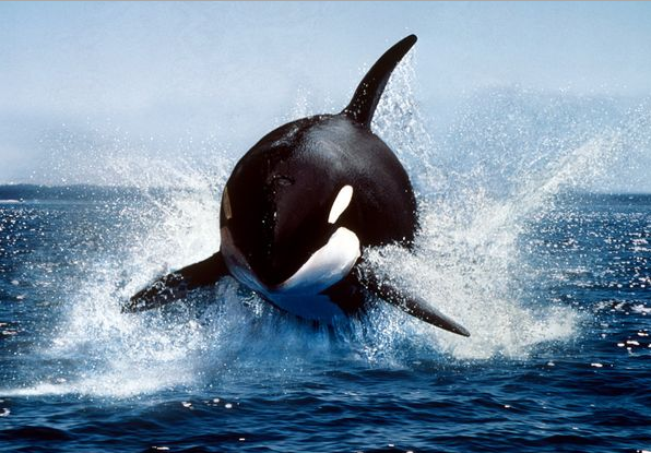 orca-whale, orca-whale-chasing