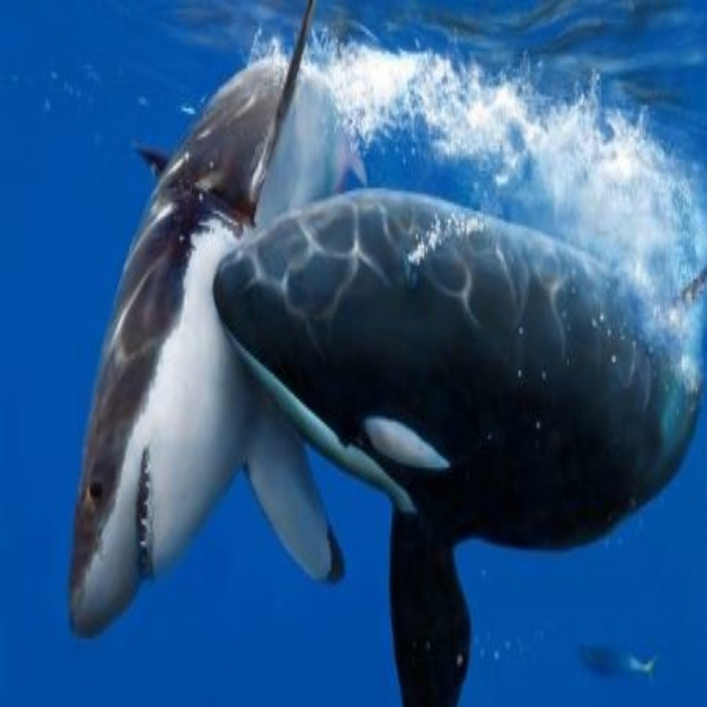 Killer Whale Vs Great ...