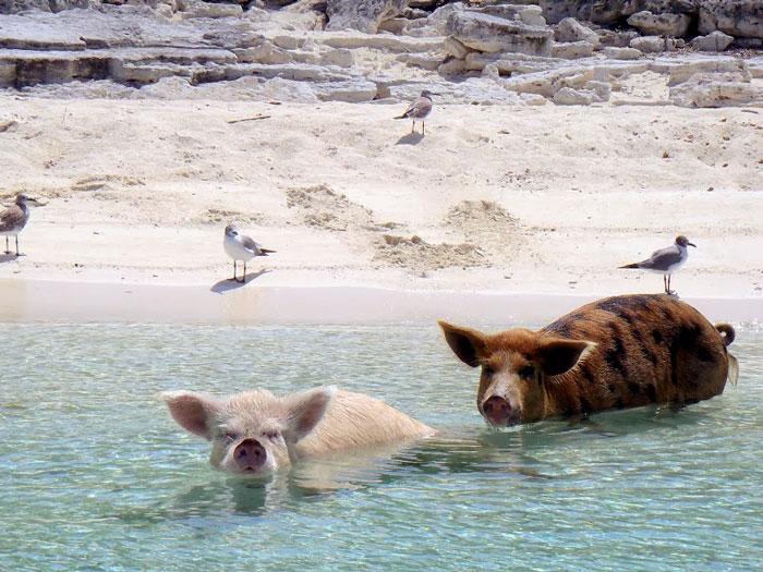 amazing islands, pig island, big major cay island, bahamas, pig beach, Christopher Dorobek, Dennis Walsh