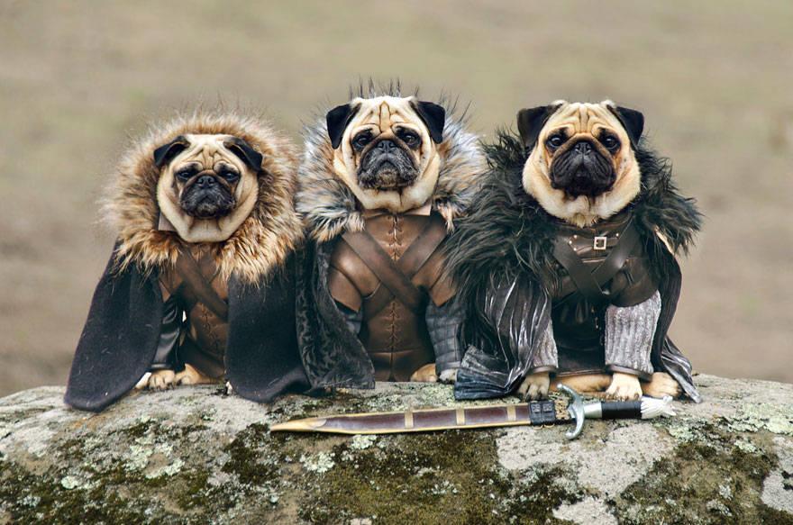 game of thrones,got,pugs,Robb Stark, Ned Stark and Jon Snow,King Joffrey,Tyrion Lannister,Daeneys Targaryen,Grand Maester Pycelle and Oberyn Martell,Petyr Baelish aka Littlefinger,Varys,Tyrion Lannister, Daenerys Targaryen and Jon Snow,pugs of westeros