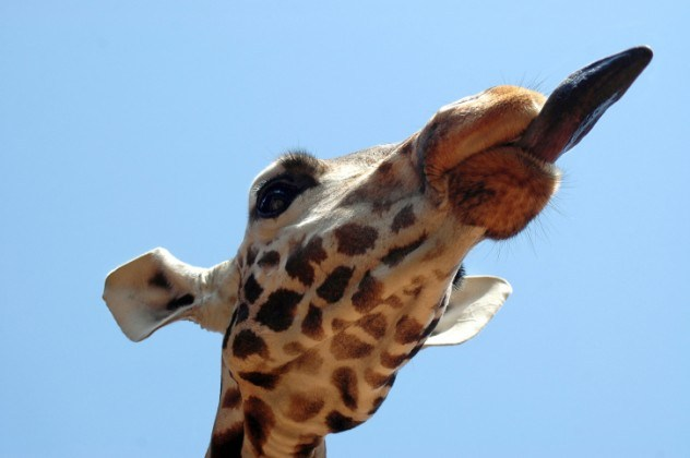 omg, omg facts, animal facts, giraffes facts, african animals, cool facts, cool giraffes, lol facts, lol, fun facts about giraffes, bizarre giraffes, beautiful creatures, inspiring creatures, awkward giraffes, 10 hilarious facts, 10 animal facts,