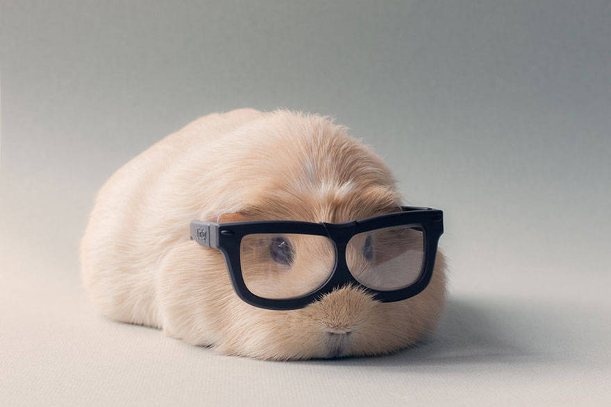 14 pictures of the cutest guinea pigs in this world quot booboo quot reckon