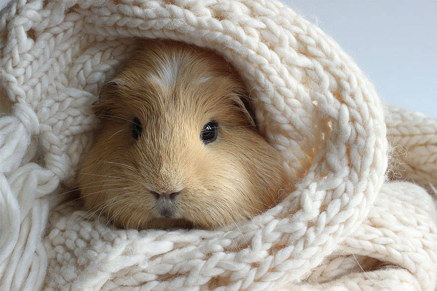 Cute guinea pigs, booboo, adorable guinea pigs, cute pet, guinea pigs,