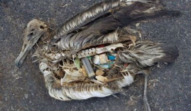 ocean horror show, bird with plastic, sea bird with plastic in their stomach, dead sea bird, sea bird images by chris jordan, birds with bellies full of plastic garbage, poor sea birds, plastic in stomach, birds killed by plastic trash, birds killing in ocean by huaman, birds killing, sea bird killed
