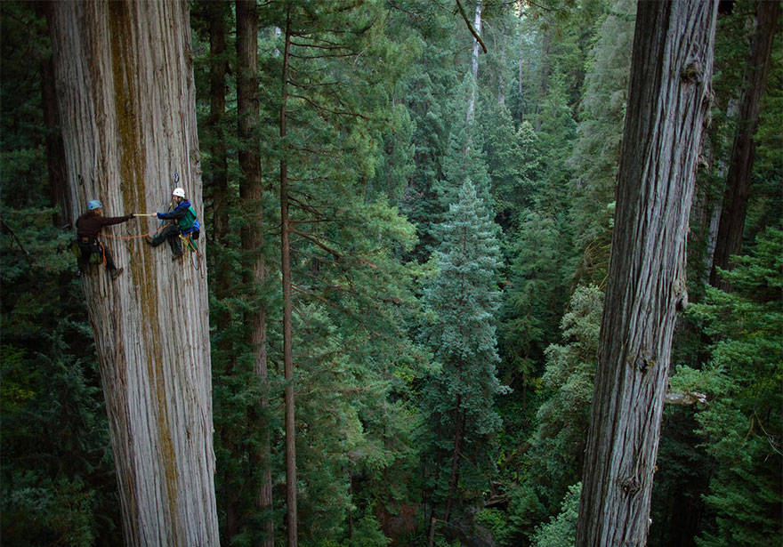 Redwood tree climbing