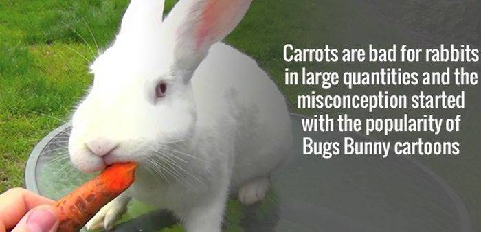 Carrots are bad for Rabbits