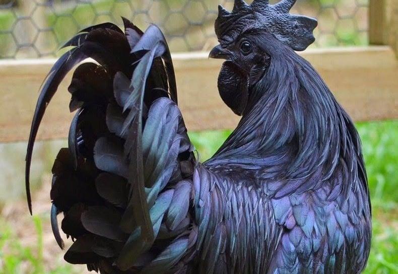 cemani means, ayam cemani, black chicken, lamborghini of poultry, fibromelanosis
