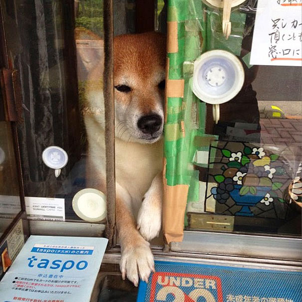 suziki shop, dog as salesmen, dog runs cigarette, cute japanese dog, shiba inu, intelligent dog, dogs of japan