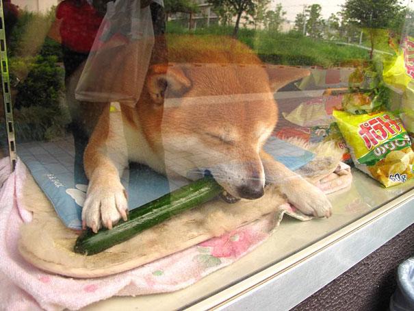 suziki shop, dog as salesmen, dog runs cigarette, cute japanese dog, shiba inu, intelligent dog, dogs of japan