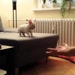 adorable, Animals, aww, bulldog, Cute, Dog, french bulldog, pet, Pets, puppy, Silly