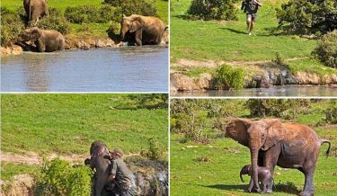 awesome pictures baby elephant, great story, heartwarming story, animal rescue, baby elephant rescue, baby elephant rescued from river, addo elephant national park, corney coetzee, love elephants, baby ellie, humanity
