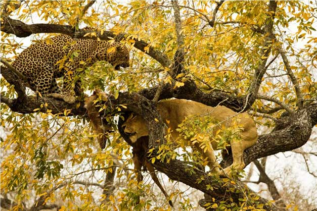Leopard-and-lion