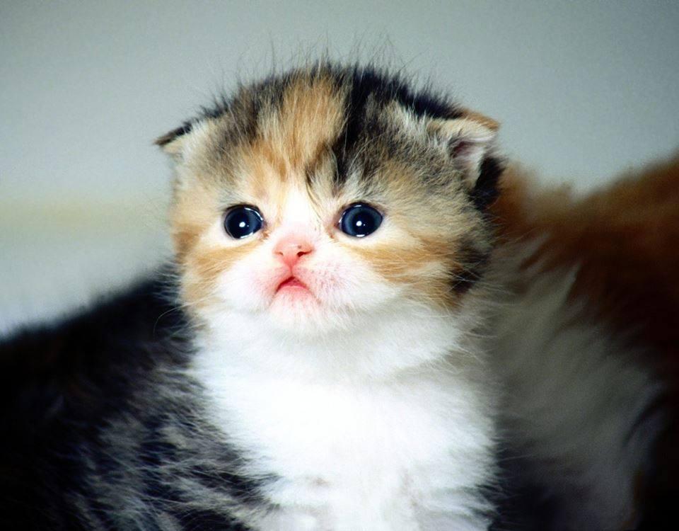 white american shorthair kitten