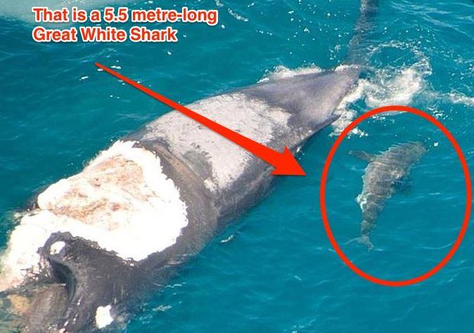 Australian 'idiot' surfs dead whale Being Eaten By Great ...