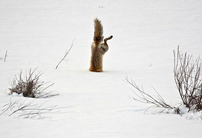 cute fox photos, fox, russian fox, fox in ice
