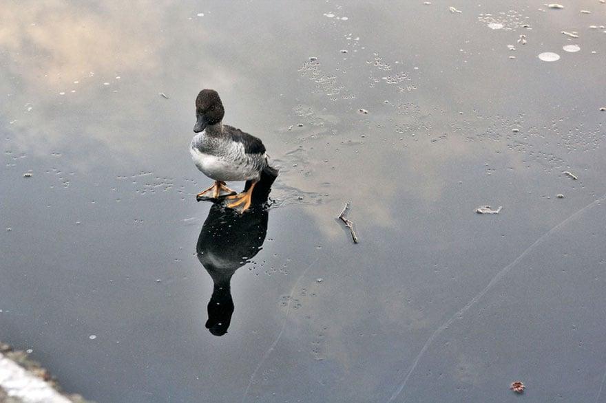 Karl King of Ducks