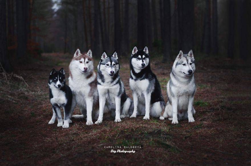 Family of Siberian huskies in a mysterious forest