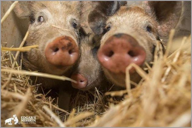 cute pigs 1