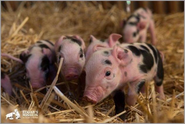 cute pigs 10