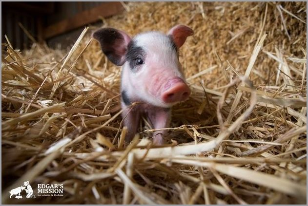 cute pigs 11