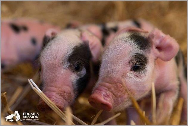 cute pigs 12