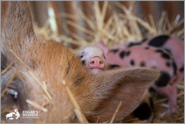 cute pigs 13