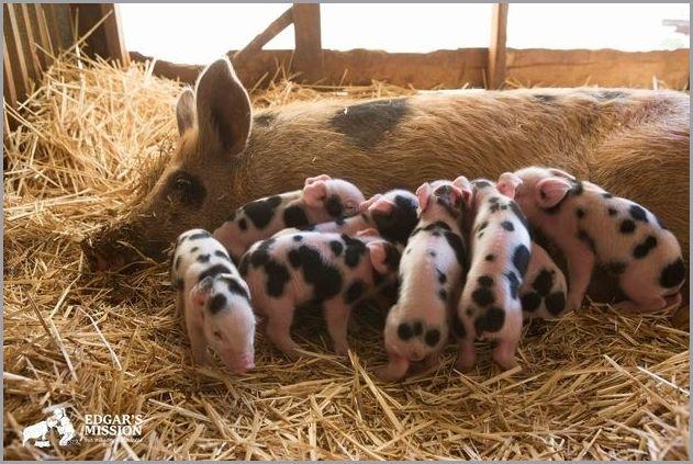 cute pigs 2