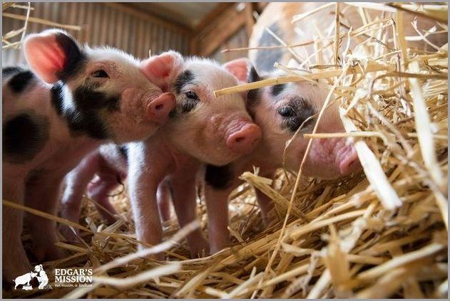 cute pigs 4