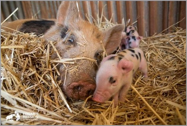 cute pigs 5