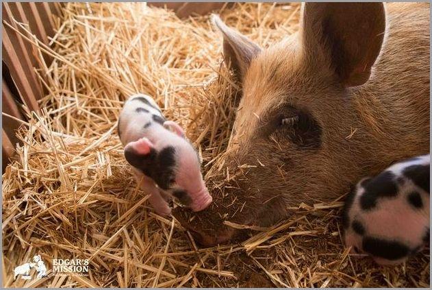 cute pigs 6