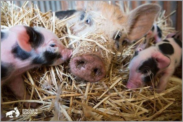 cute pigs 7