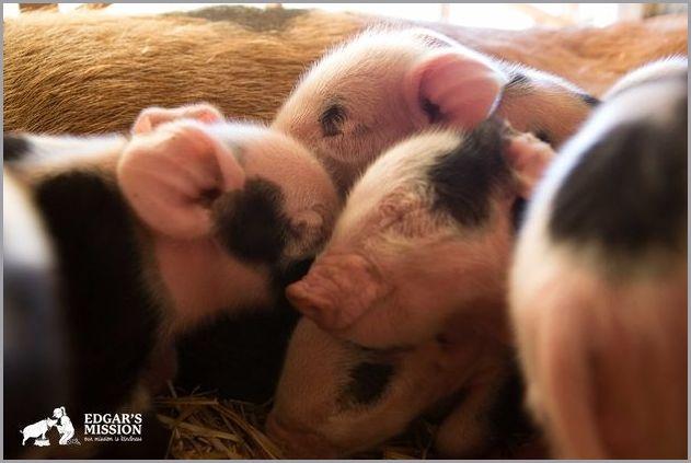 cute pigs 8