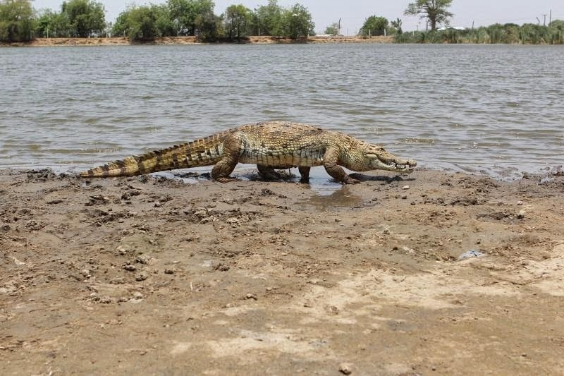 crocodiles in paga, friendly crocodile