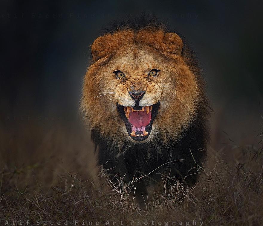 lion atif saeed photography