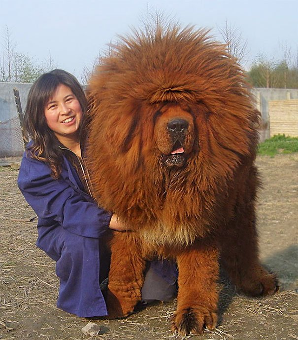 big dogs, giant animal, giant dogs, huge dogs, dogs photos, dogs images, cute dogs, funny, lol, wtf, omg, viral, dog breeds, biggest dog, amazing dogs