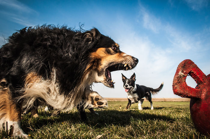 photoshop, perfect pic, perfect time pic, gaint dog, animal, cute, amazing, dog, dog photo, dog pic, dog pictures, dog image, creative, mindblowing