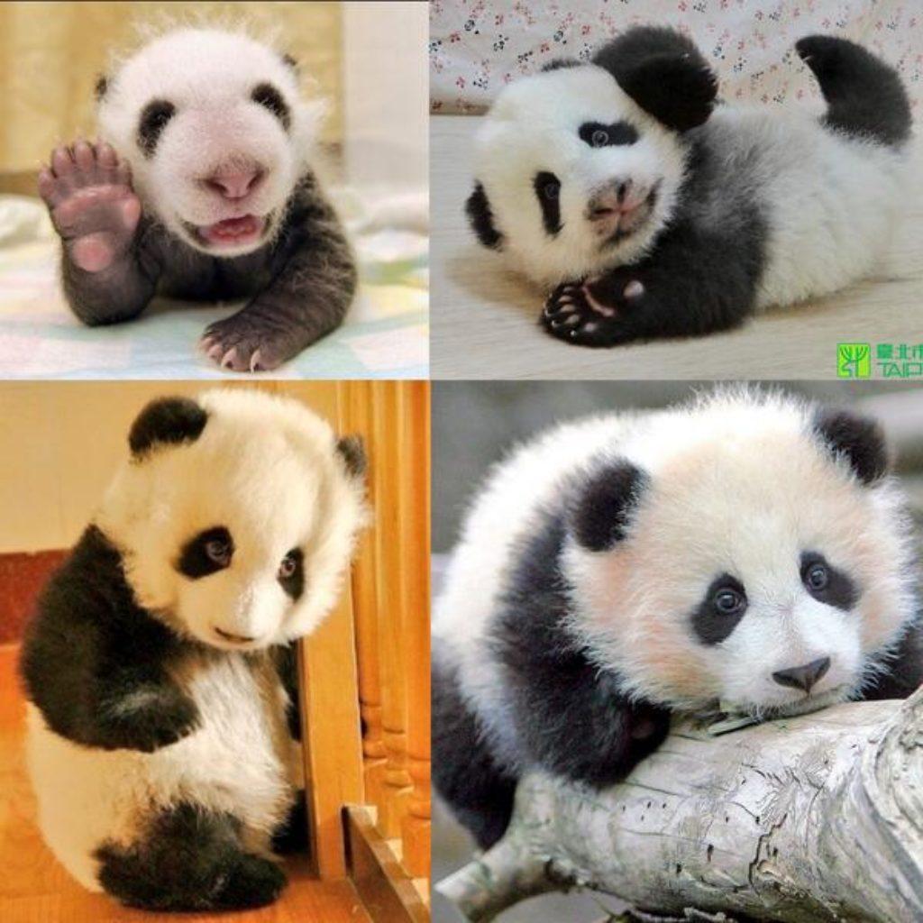 cute panda baby sweet bear giant amazing