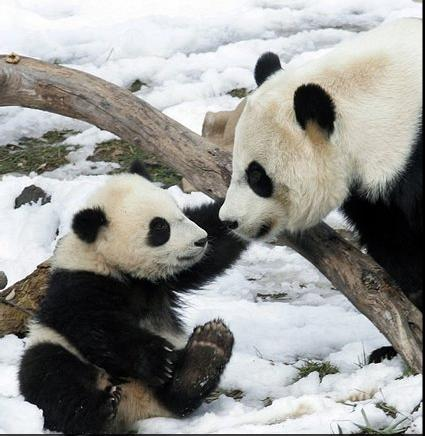 15 Amazing, Sweet Pictures Of Cute Baby Giant Panda Bear ... - photo#37