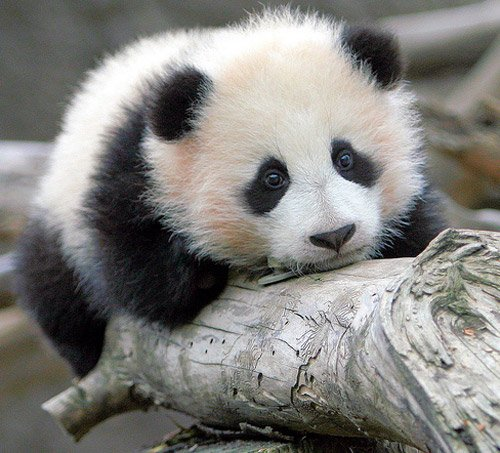 15 Amazing, Sweet Pictures Of Cute Baby Giant Panda Bear ... - photo#12