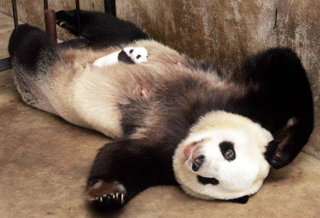 15 Amazing Sweet Pictures Of Cute Baby Giant Panda Bear Reckon Talk
