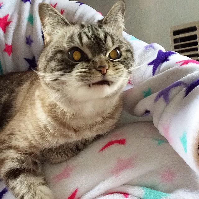 "vampire, angry, cat, loki, human companion ""Kaet, animal, kitten, pet, scary, wtf, omg, real vampire cat, loki cat, loki vampire, evil cat, dangerous cat, scary cat, hilarious cat, amazing, wow"