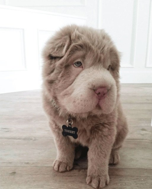 Tonkey Bear, viral, Internet Sensation, Instagram, celebrity pet, social media, dog, canada, Bearcoat tonkey, Beat Coat, Shar-Pei, Tonkey, Adorable