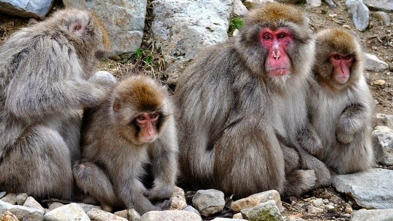 Snow Monkey, Jigokudani, Japanese Macaques, valley, Yokoyu River, Nagano Prefecture, japan, animal, nature, amazing, cute, wow, sweet, lovely, adorable, warm, water pools, hot, area, awesome