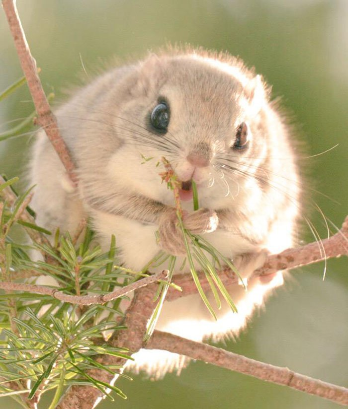 siberian, japanese, dwarf, squirrel, flying squirrel, animal, pet, cute, adorable, tiny, small, little, funny, sweet, lovely, awesome, amazing, creature, japan, europe