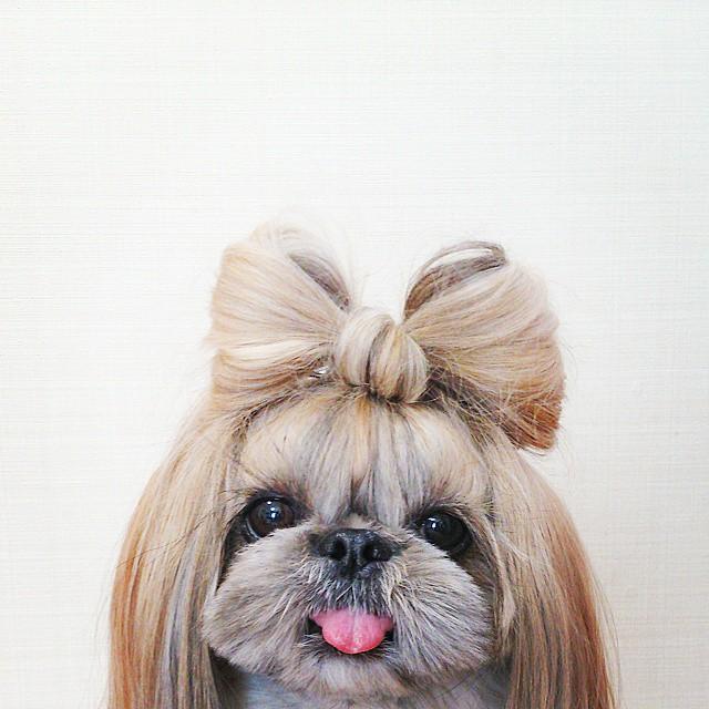 pekingese, dog, hairstyles, kuma, pup, puppy, pet, Instagram Star, trendy dog, stylish social media star, stylish social media dog, dog hairstyle, Most Fabulous Hair, Most Fabulous Hair dog, dog beauty