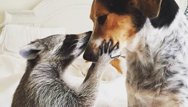 RACCOON, RESCUE, CUTE, INSPIRING, PET, ANIMAL RESCUES, ORPHANED RACCOONS, INSTAGRAM, WILDLIFE, DOG, BAHAMAS, PUMPKIN, photo, photography