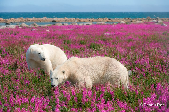 polar bear, playing, flower field, dennis fast, photography, photographer, interview, animals, summer, animals playing, arctic animals in summer, bears, bears playing, bears with flowers, Churchill Wild, polar bears in summer, polar bears playing, white gaints, beautiful, wow, amazing, awesome, beauty, winter animal