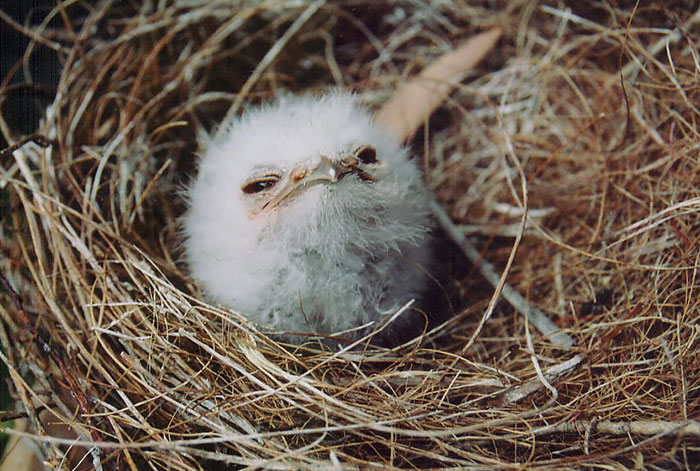 tawny frogmouth, bird, Australia, Australian Wildlife, cute, fluffy bird, funny bird, owl look-alike, wildlife, beautiful, adorable, lovely